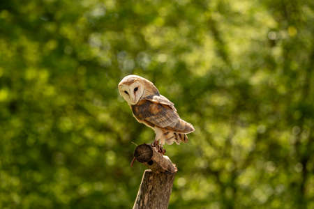 A barn owl sitting on a branch and looking down