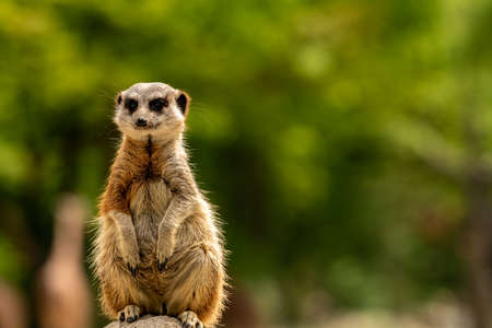 A meerkat sitting on a stone and looking at you