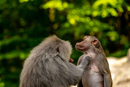 A baboon who is cleaning another ape Stock Photo