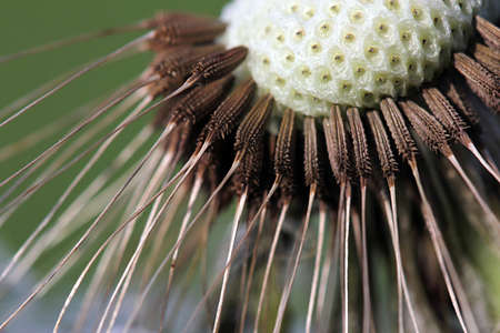 Dandelion seeds. The flower heads are yellow to orange colored, and are open in the daytime. The tuft of hairs on each seed of dandelions assists dispersal by the wind.