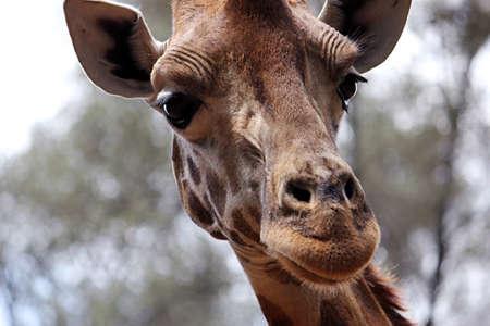 A portrait of a wild giraffe, shot in the Maasai Mara National Reserve, Kenya. Banque d'images