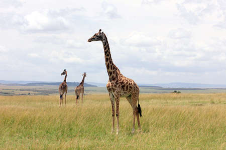 A family of giraffes standing in the savanna in Maasai Mara National Reserve, Kenya, South Africa.