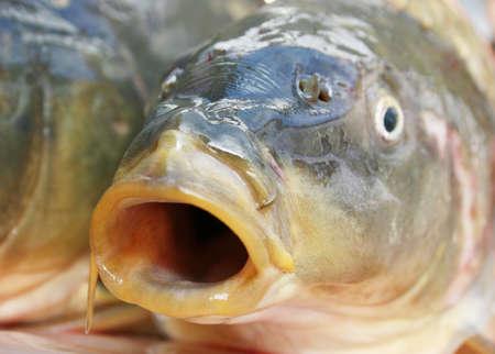 carp mouth Stock Photo - 11679140
