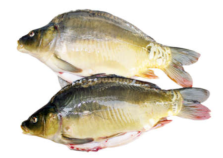 carp fish Stock Photo - 11679144