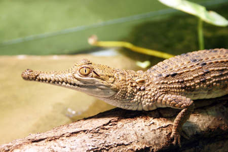 Crocodile waiting for a prey Stock Photo