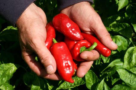 Vegetable garden. Gardener harvesting organic red peppers.