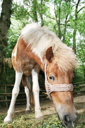 Pony horse on a farm in Serbia