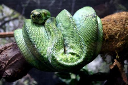 Close up of a resting green tree python Standard-Bild