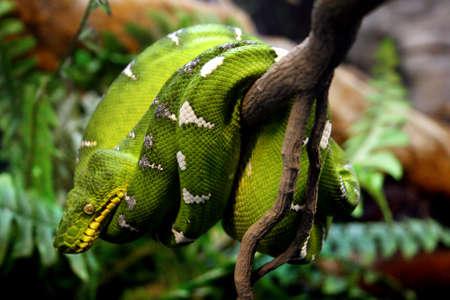 Close up of a resting green boa Standard-Bild
