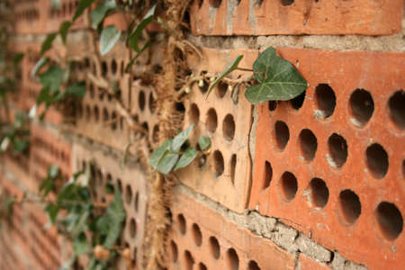 Brick wall covered with creeping ivy, selective focus