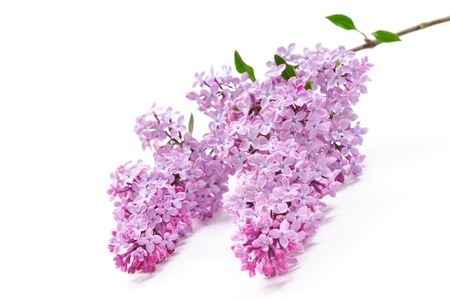 blooming. purple: Lilac flower on white background