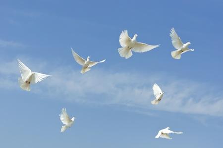 paloma: El vuelo de Paloma de grupo, Paloma en cielo Foto de archivo