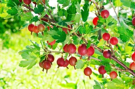 grosella: Grosellas rojas colgando de un arbusto.