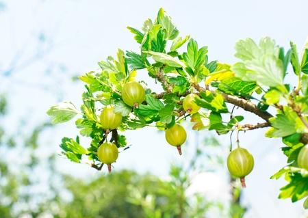 Green juicy gooseberries on the branch