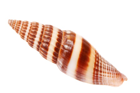 Brown and white seashell isolated on white background