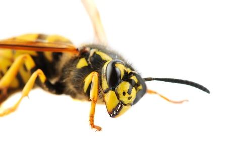 abdomen yellow jacket: Wasp detailed portrait on white background
