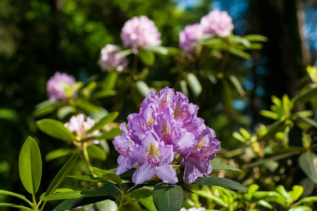 Blooming Pink Rhododendron in park