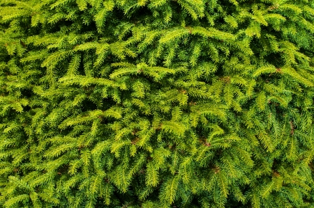 fir branches background