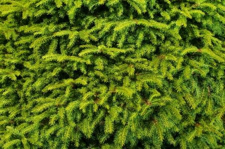 fir branches background