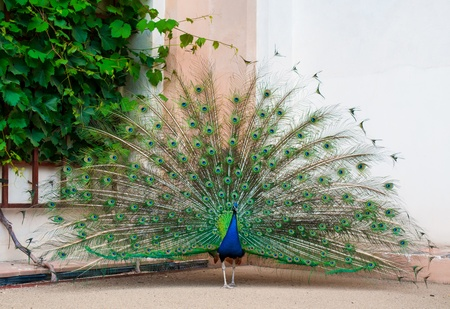 peacock wheel: Full view of peacock in a zoo, making wheel with his colorful tail