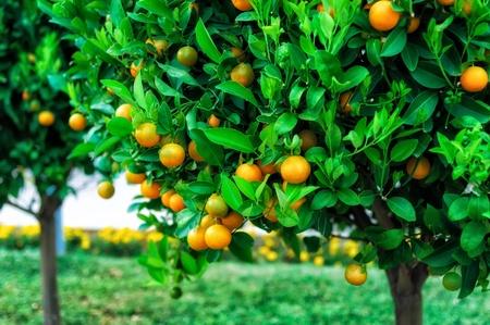 arboleda: Ramas con los frutos de los árboles de mandarinas, Montenegro Foto de archivo