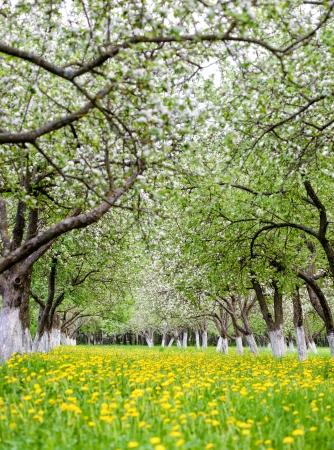 blooming apple garden with dandelions