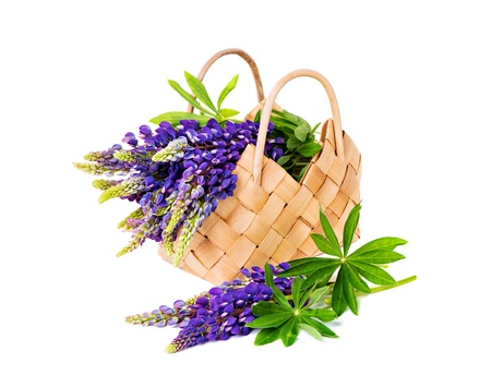 lupine: Beautiful lupine bouquet in basket isolated on white background Stock Photo