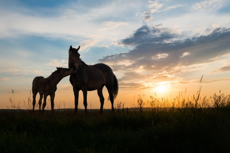 horse silhouette: foal and mare - two horses at sunset Stock Photo