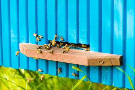 going in: Las abejas van dentro y fuera de su colmena