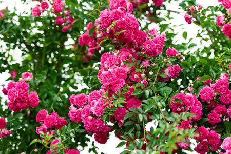rose garden: Detail of roses bush as floral background