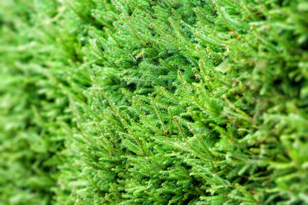 branchy: Background of Christmas tree branches