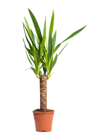 Houseplant Yucca A potted plant isolated on white background Stock Photo