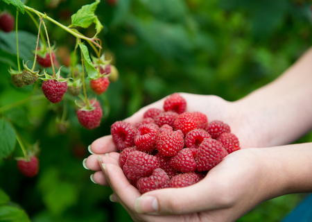 Woman hands with big red raspberries on background branch of raspberry. Small DOF Stock Photo