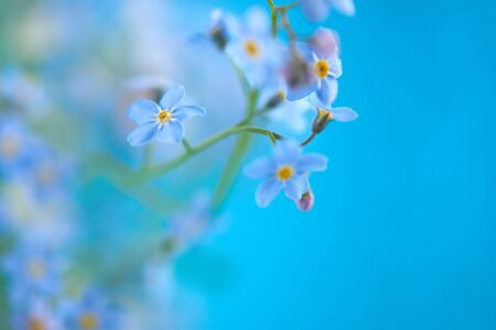 Little blue flowers on colored background with empty space for you text. Thin stem, small delicate flowers. Small DOF