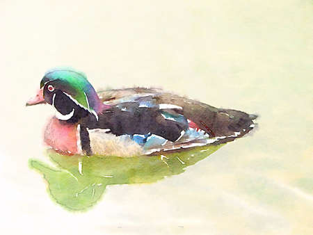 Colorful watercolor hand-painted art illustration : aix sponsa  wood duck (High-resolution 2D CG illustration) Stok Fotoğraf