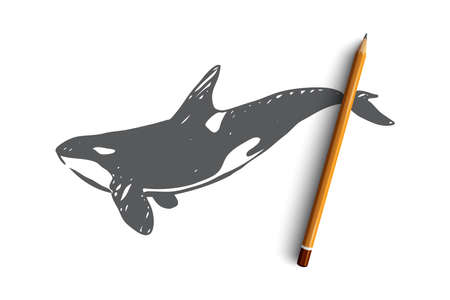 Killer whale, sea, underwater, wildlife, nature concept. Hand drawn danger killer whale in the ocean concept sketch. Isolated vector illustration.