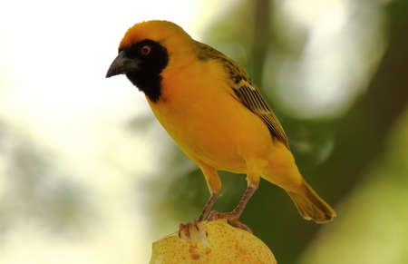 A close-up photo of a Southern Masked Weaver perching on a pear.