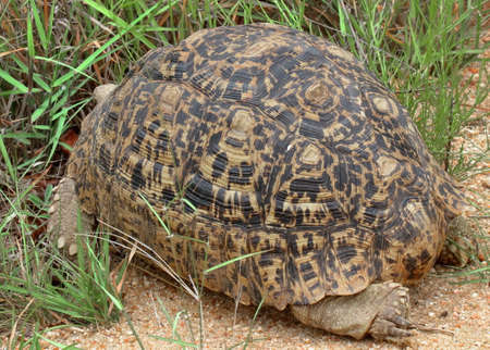 A closeup photo of a large Leopard Tortoise in the Kruger national park