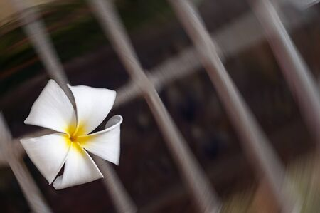 Falling plumeria flower to the steel grating. Plumeria a fragrant flowering tropical tree.