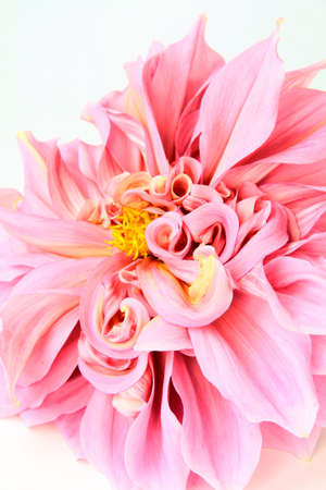 georgina: pink dahlia flower  on white  close-up