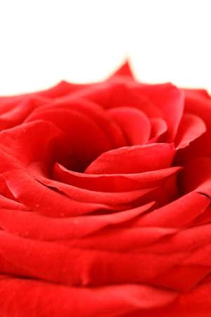 macro beautiful red rose background   photo