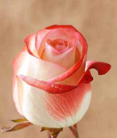 one flower pink rose on brown background