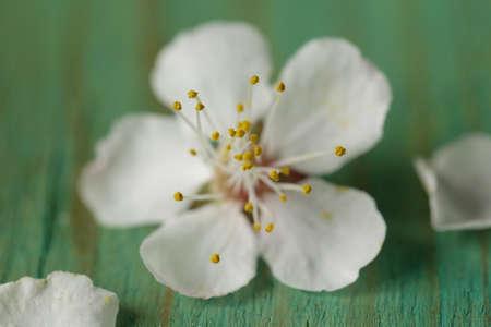 stami: macro colpo di fiori di ciliegio - focus sulla stami Archivio Fotografico