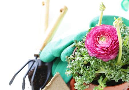 buttercup flower: Gardening concept - buttercup flower in a pot and garden tools Stock Photo