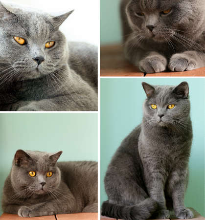 gray cat: collage gray cat with orange eyes