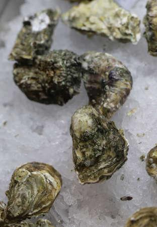 natural fresh organic shell oysters 写真素材