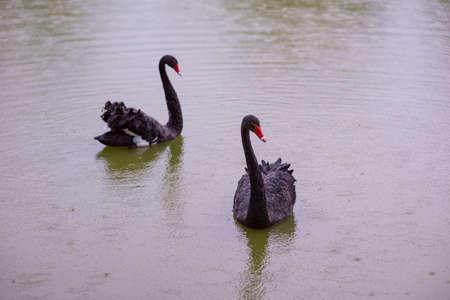 Two Black Swans in a pond Banco de Imagens
