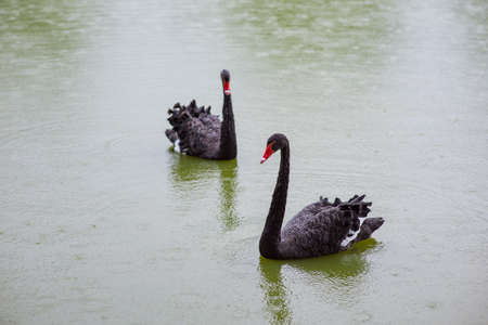 Two Black Swans in a pond Banco de Imagens