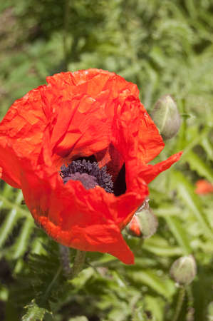 Bright red poppy flower on a green background