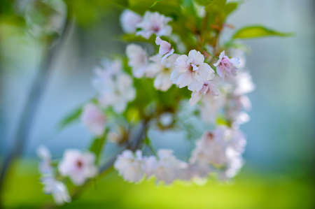 Pink cherry blossoms on a blurred background, a lot of blossoming flowers Banco de Imagens